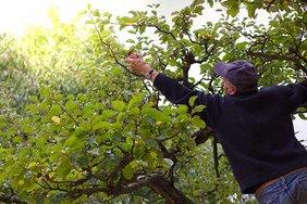 ein Mann versucht einen Apfel am Baum zu erreichen und beugt sich dafür gefährlich weit nach links
